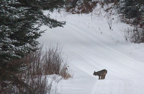 Hunting the underbrush in the Superior National Forest by Thomas Spence.