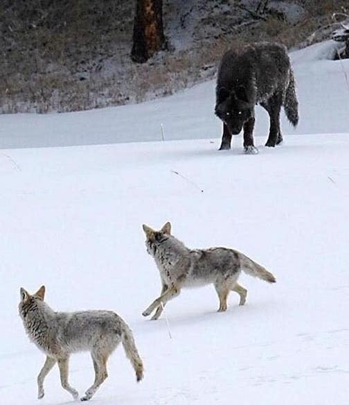 Wolf size vs Coyote size by Ron Gallagher.