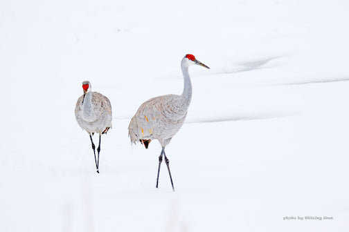Sandhill Crane couple walking in snow in Milford, Mich. by Shixing Wen.