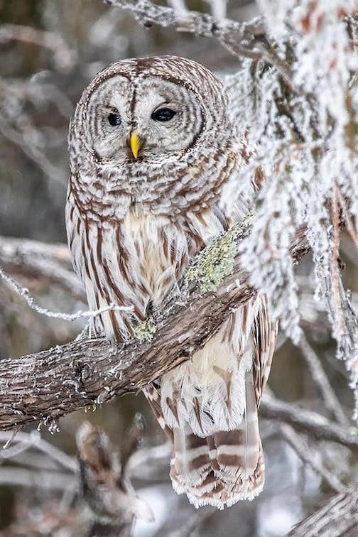 My first owl photo by Gene Dianoski