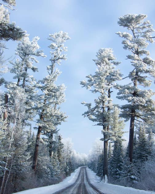 Forst-covered pines on the Gunflint Trail. Courtesy of the Gunflint Trail Association.