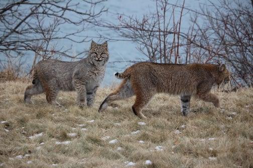 Bobcats by Holly Kuus.