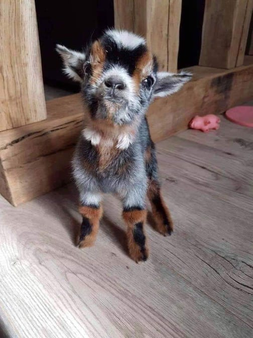 Sometimes you just need a baby goat by Jacqui Peck.