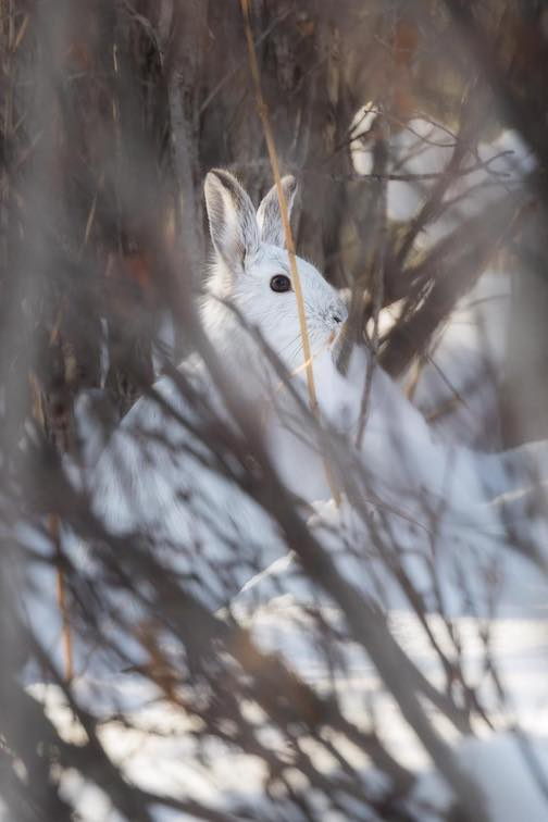 Snowshoe hare by John Keefover.