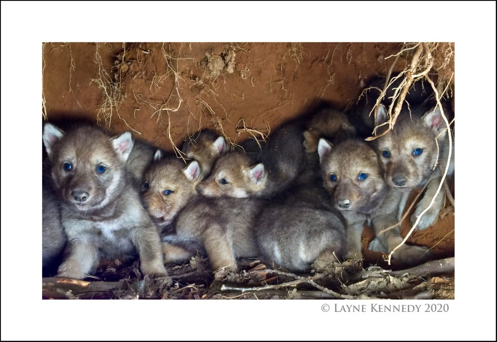 Nine wolf pups in den by Layne Kennedy. This photograph was shot when Kennedy was on assignment doing a story for the Minnesota Conservation Volunteer.