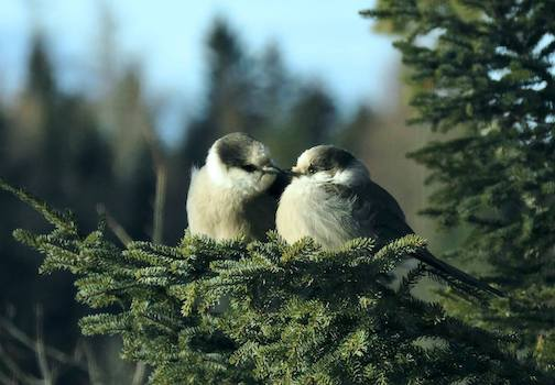 The neighbothood's Canadian Jays waiting for handouts by Loy Pignolet.