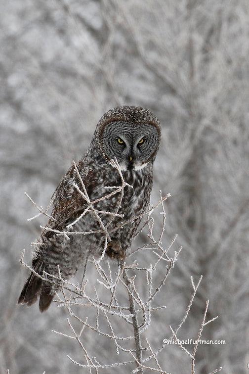 Great Gray Owl by Michael Furtman.
