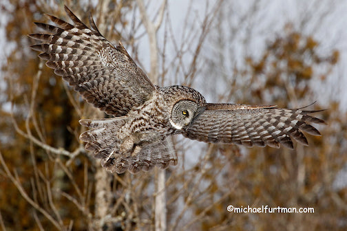 Great Gray hunting by Michael Furtman.