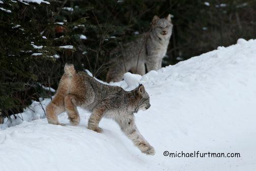 Lynx kitten by Michael Furtman.