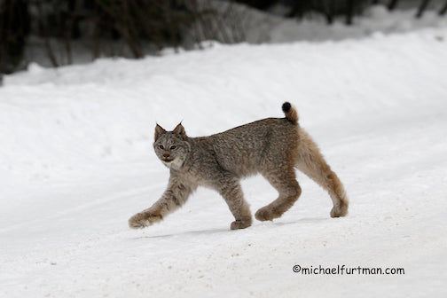 Why did the lynx cross the road? By Michael Furtman.