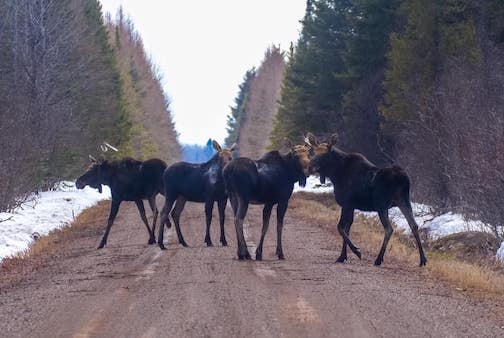 A gaggle of moose by Sparky Stensaas.