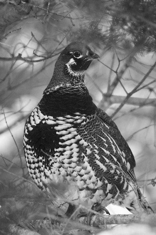 A spruce grouse B&W this morning by Thomas Spence.