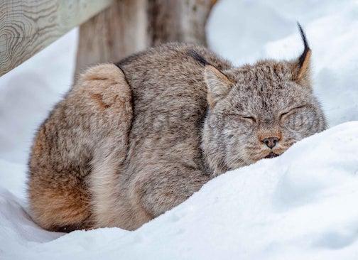 Lynx snoozing by Chris Artist.