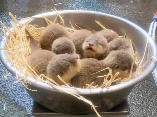 Basketful of baby otters by Amanda Chrysalis Roseanne.