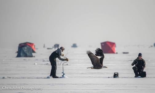A bald eagle trolling fishermen in the Duluth area for a handout. It works. Photo by Chris John.