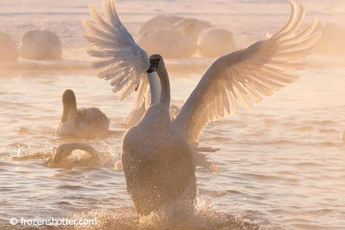 Swans by Gary Jake Jacobson.