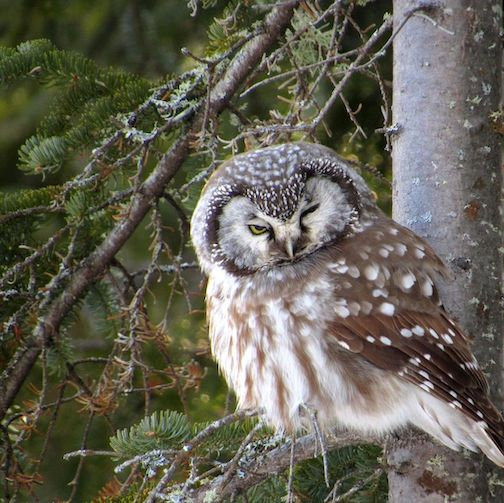 Oh, hey there. (Boreal owl) Photo by Maggie Fredericks.