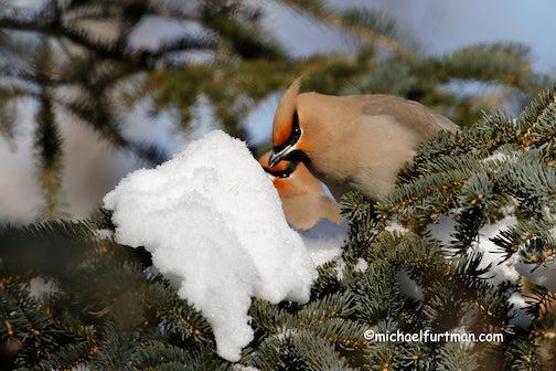 Bohemian waxwings getting a winter drink by Michael Furtman.