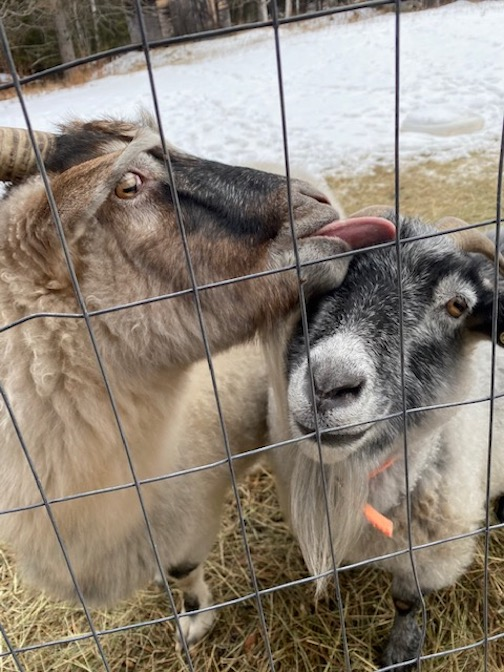 Goat love by Vicki Biggs-Anderson.
