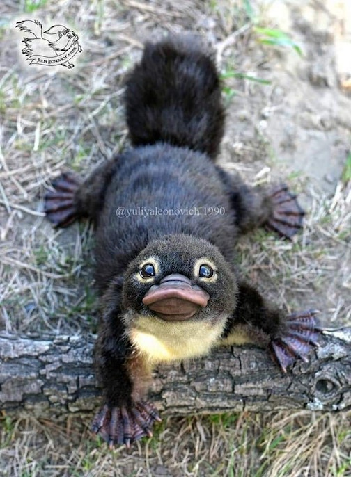 A Platypus baby by Ernesto Murguía.