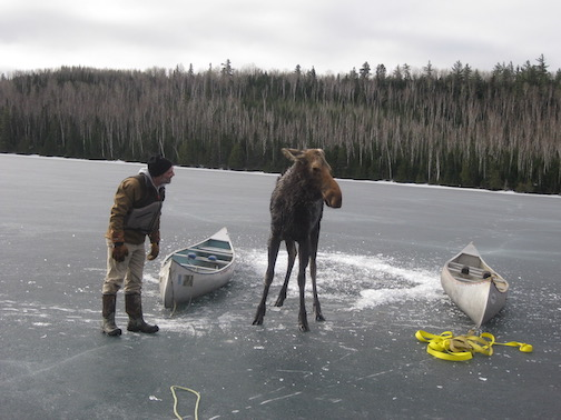 The Moose Whisperer. Dave Seaton of Hungry Jax Outfitters helped rescue a moose from falling through the ice a few years ago. Is he lecturing the moose on how to be safe at this point?