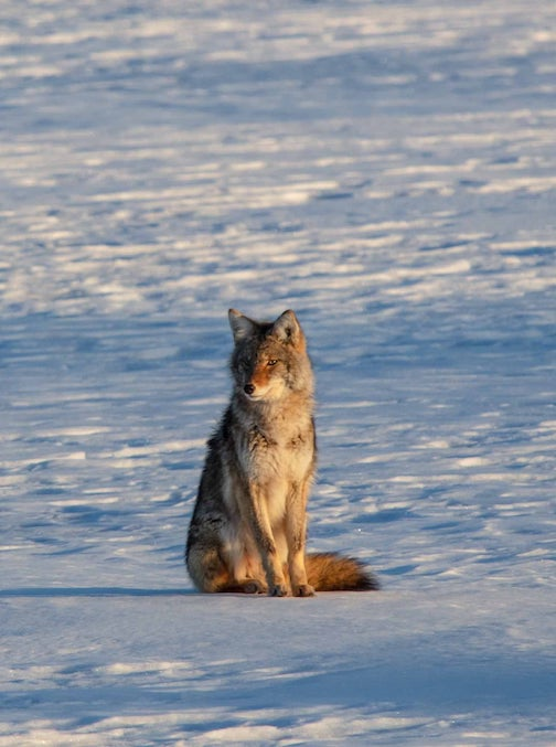 A wolf on the ice in Thunder Bay by Chris Artist.
