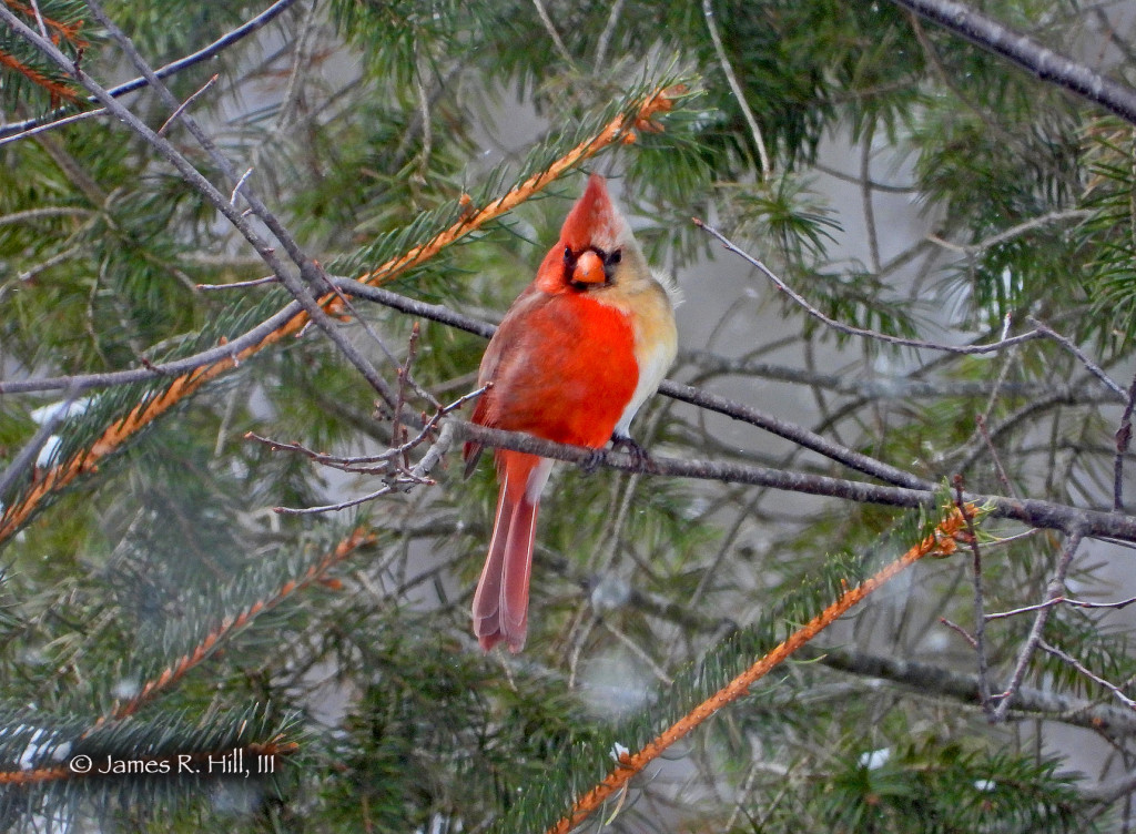 A rare bilateral gynandromorph Northern Cardinal by Jamie Hill. Hill said the bird is really half male and half female, an unusual mutation that can occur in birds.