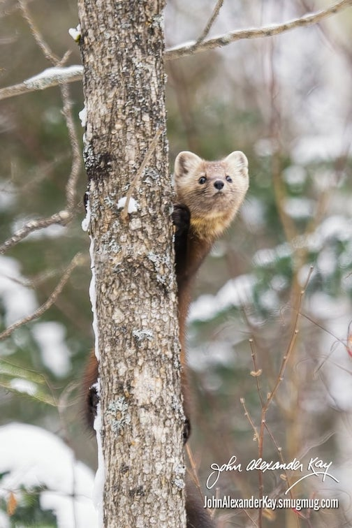 Checking it out, Pine Marten by John Alexander Kay.