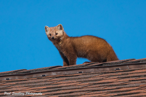 When up on the rooftop, there arose such a clatter. I stepped outside to see what was the matter. It was Chaser who we hadn't seen for a while. Photo by Paul Sundberg.