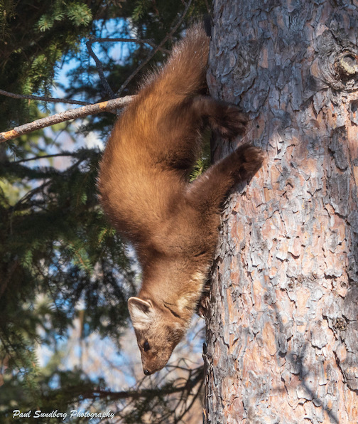 Chaser looked pretty graceful bounding from tree to tree. Like squirrels, marten can pivot at the hips reversing their hind feet so they can run down a tree as fast as they can run up it. Photo by Paul Sundberg.