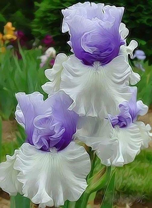 Germanic iris by Ernesto Murguía.