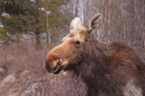 Early spring moose by Katie Mumm.