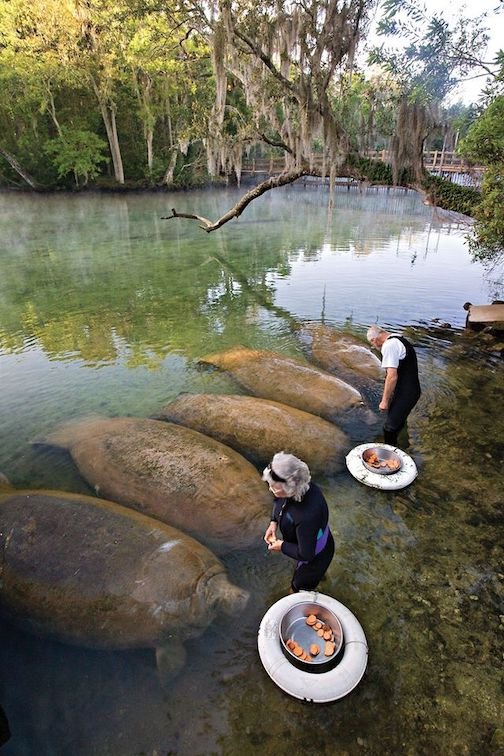 Manatees snacking on sweet potatoes while also looking like sweet potatoes by Kelly Hayes.