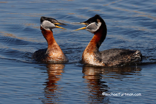 Red-necked Grebes by Michael Furtman.