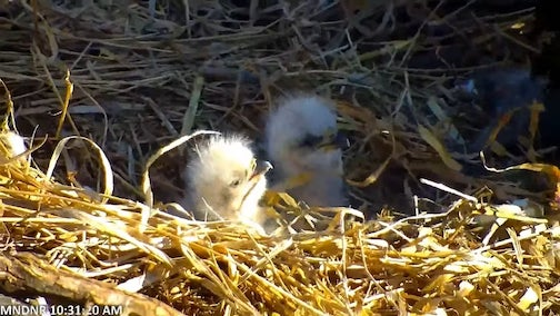 Two eaglets have hatched in the DNR's Bald Eagle nest near St. Paul. Photo by Pat Burke.
