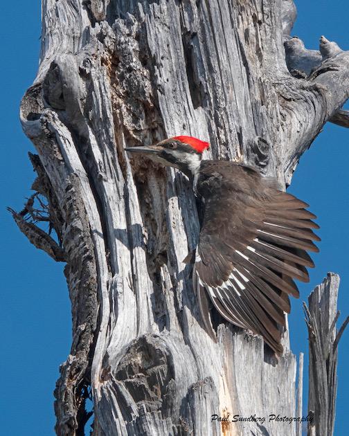 Wing. Pileated woodpecker by Paul Sundberg.