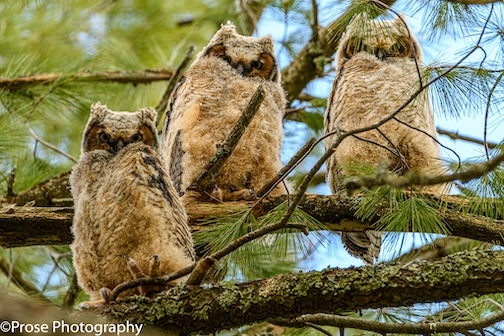 All the owlets are out of the nest with mom standing guard only a few feet away. Photo by Steve Prose.