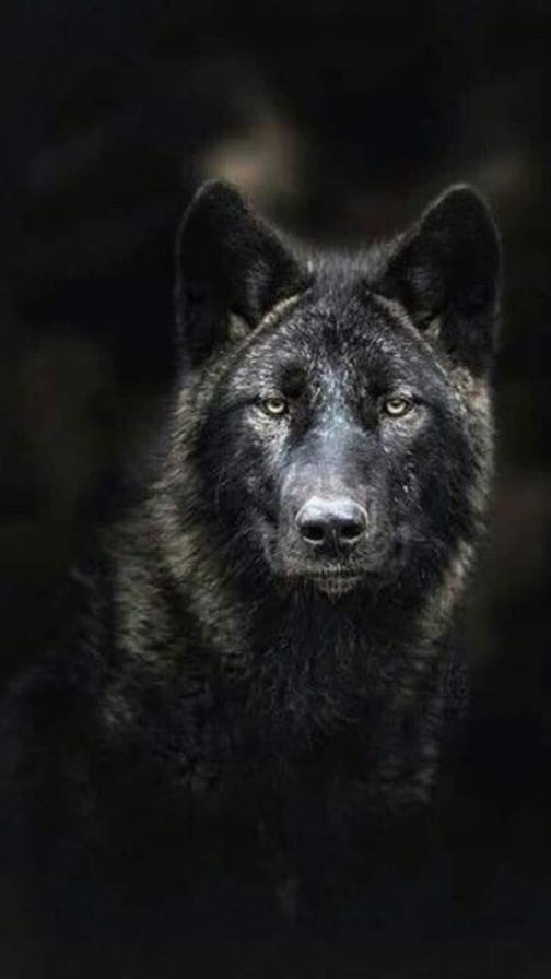 The wolf. Photographer unknown.