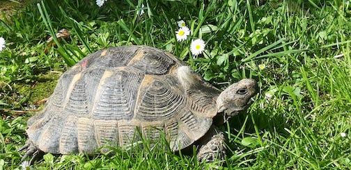 Our turtle mowng the lawn in Istanbul, Turkey. It's a slowww process, requiring many pauses. Photo by Dominique Holz.