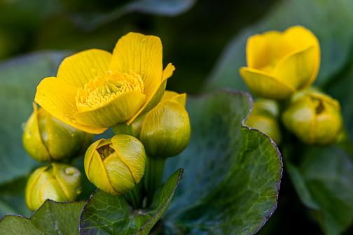 Marsh Marigolds awake by Janice Latz.