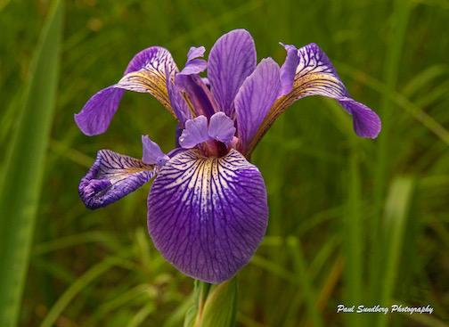 Wild Iris by Paul Sundberg.