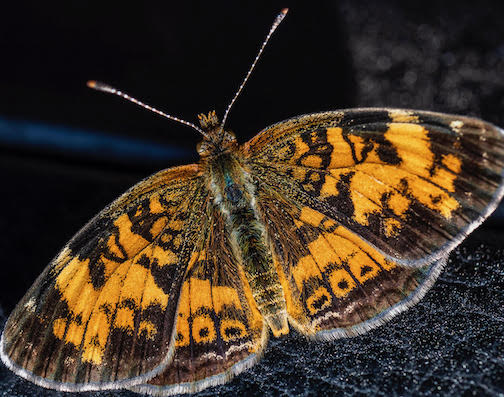 Northern Crescent Moth by Dennis Chick.