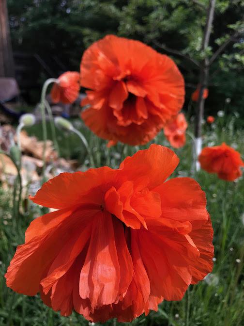 Poppies in my garden by Jan Attridge.