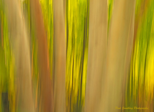 Birch Forest, photograph by Paul Sundberg.