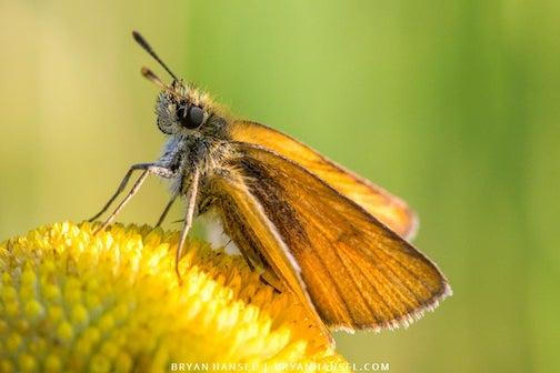 Least Skipper butterfly by Bryan Hansel.