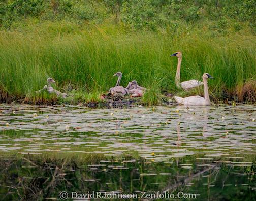 The swans are growing up by David Johnson.