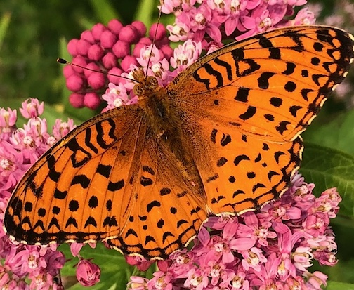 Great Spangled Fritillary by Maryl Skinner.