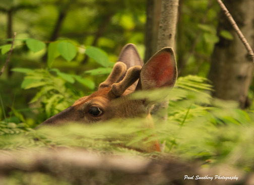 Prepping for fall. White-tailed deer by Paul Sundberg.
