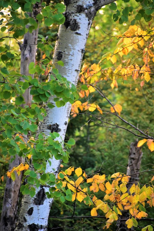 Birch leaves turning, Two Harbors by Jan Swart.