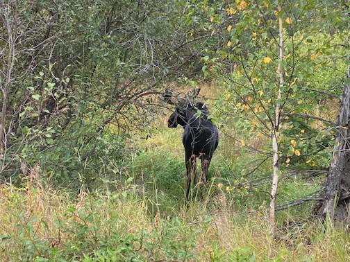 Spotted a nice bull on the Gunflint Trail Today by Jonathan Justin.